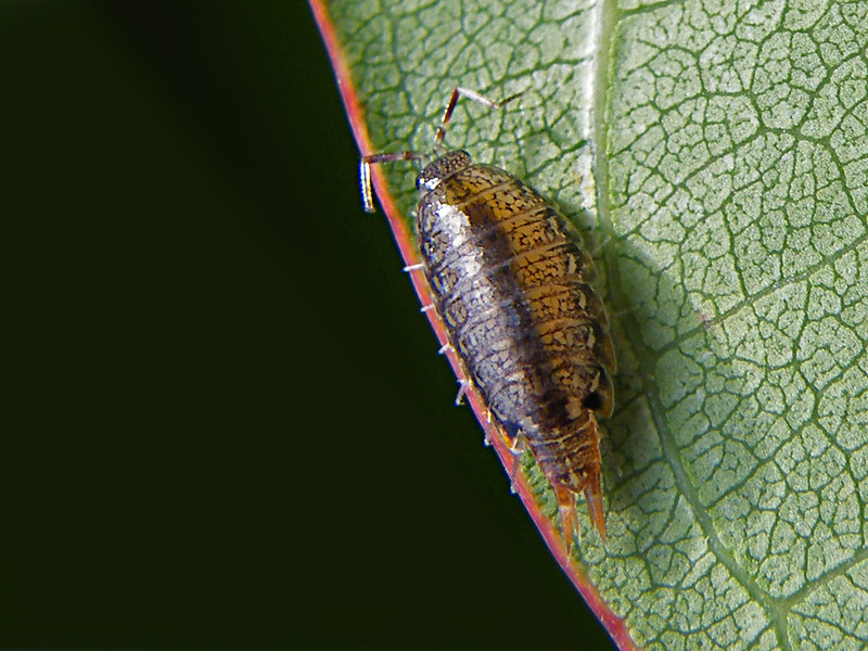 How to identify Sowbugs photo