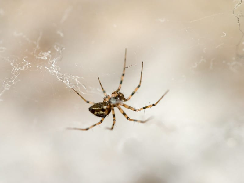 Where do House Spiders come from? photo